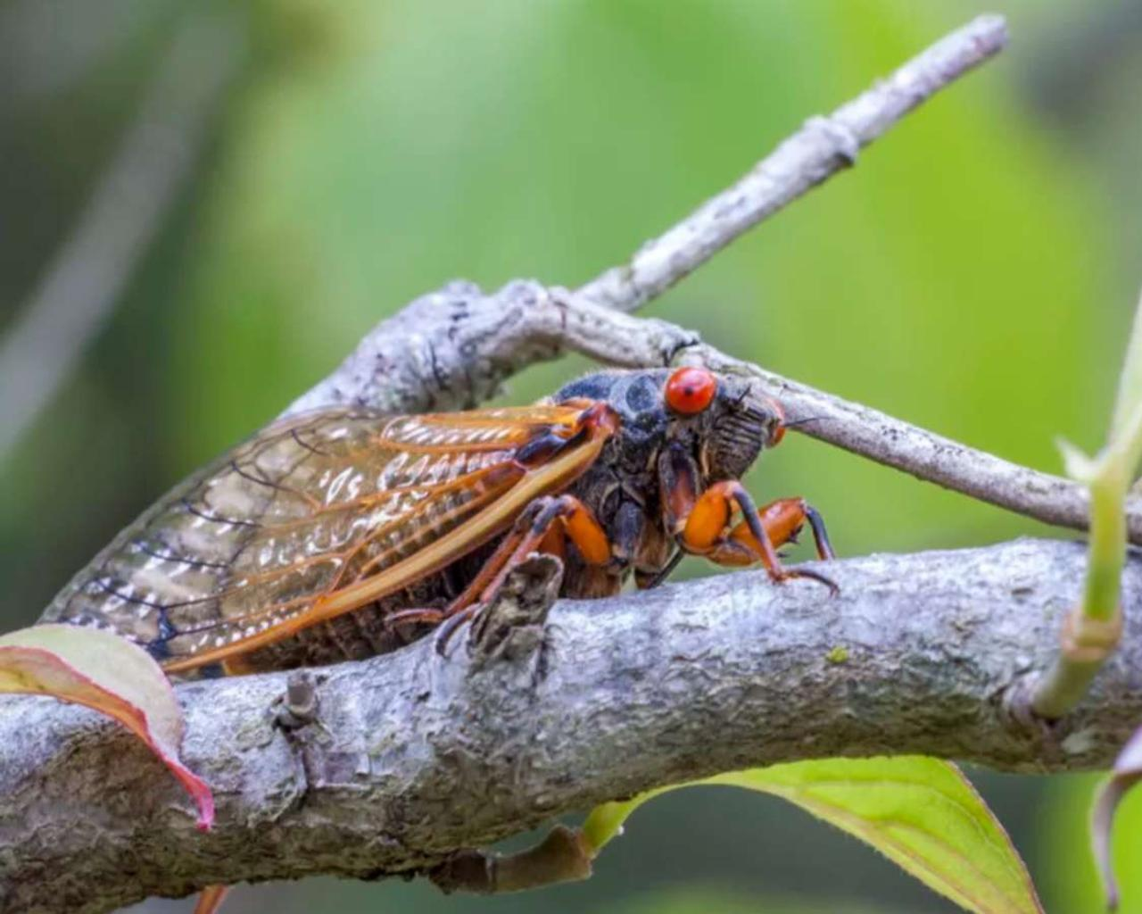 In just a few weeks, billions of Cicadas will flock to parts of 15 states, DC