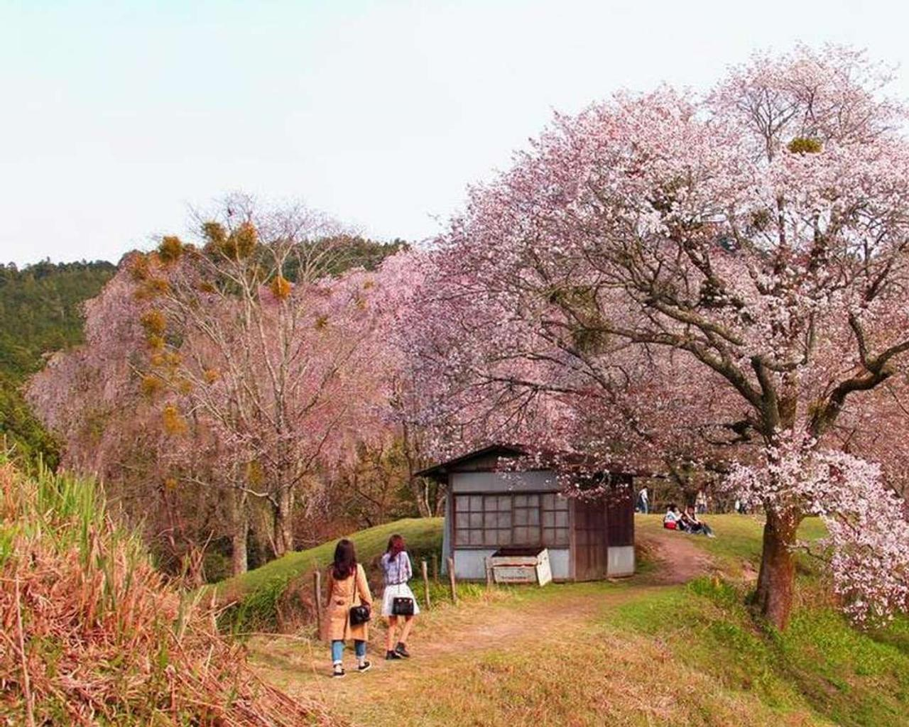 The timing of the Cherry eruption in Japan peaked at 1,200 years – and experts suspect climate change